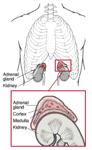 adrenal-location