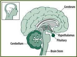 pituitary-location